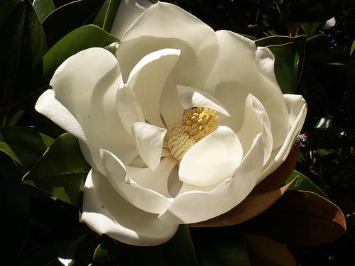 Magnolia_grandiflora1Stuart_Yeates%20%28