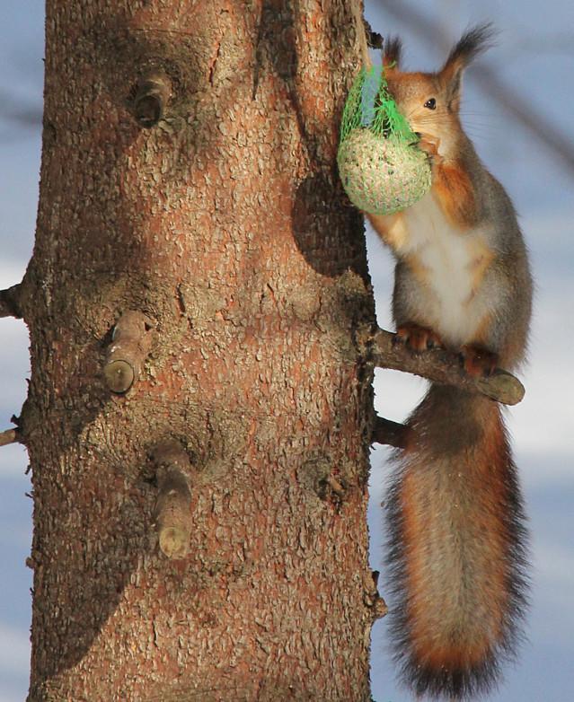 Orava%20talipallolla%20pihakuusessa%2000