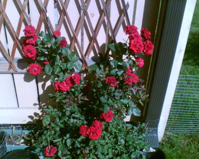 ruusu%20punainen-normal.jpg