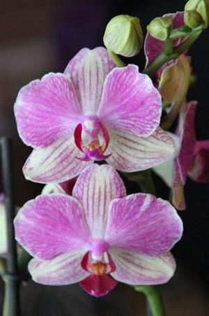 orkidea-normal.jpg