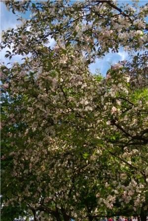omenapuu-normal.jpg