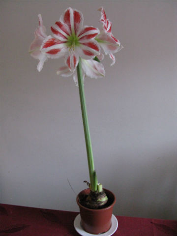 Flamingoamaryllis9.1.13-normal.jpg