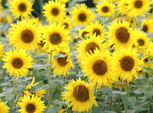 Auringonkukkia%2Cvalkoh%C3%A4nt%C3%A4kau