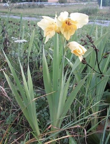 gladiolus-normal.jpg