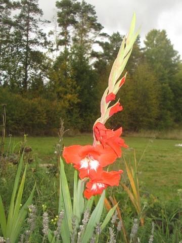 gladiolus2-normal.jpg