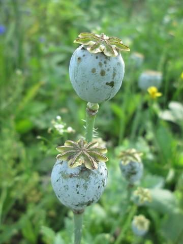 opiumunikko-normal.jpg