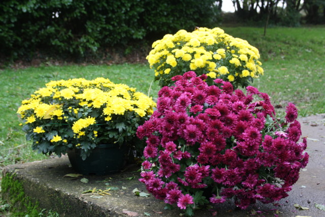 krysanteemeja%20010-normal.jpg
