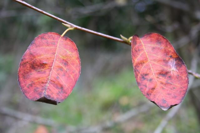 krysanteemeja%20024-normal.jpg