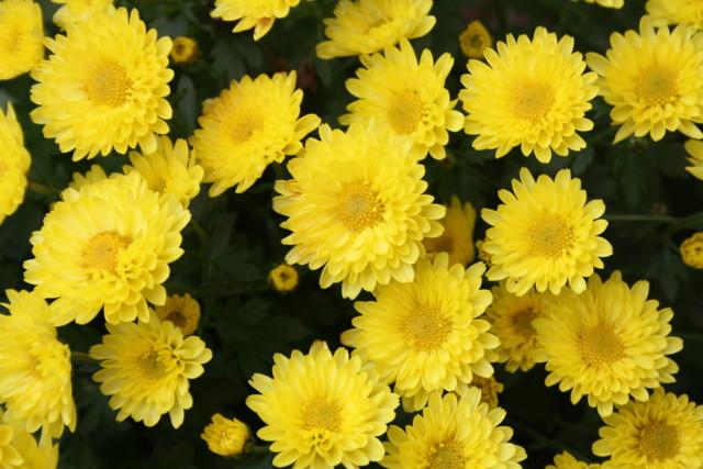 krysanteemeja%20019-normal.jpg