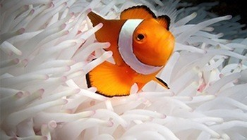 TO%20ON%20-clownfishes-normal.jpg