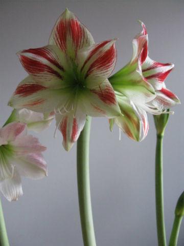 flmingoamaryllis20.11.13-normal.jpg