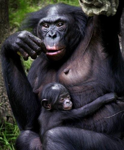 bonoboaitiys-normal.jpg