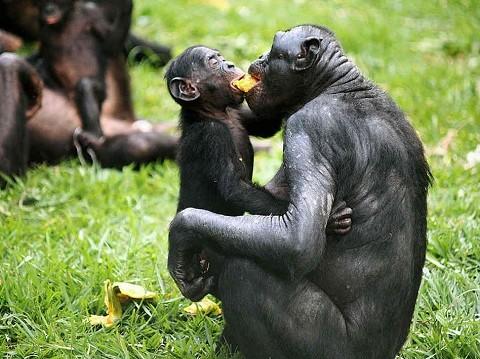 bonoboita-normal.jpg