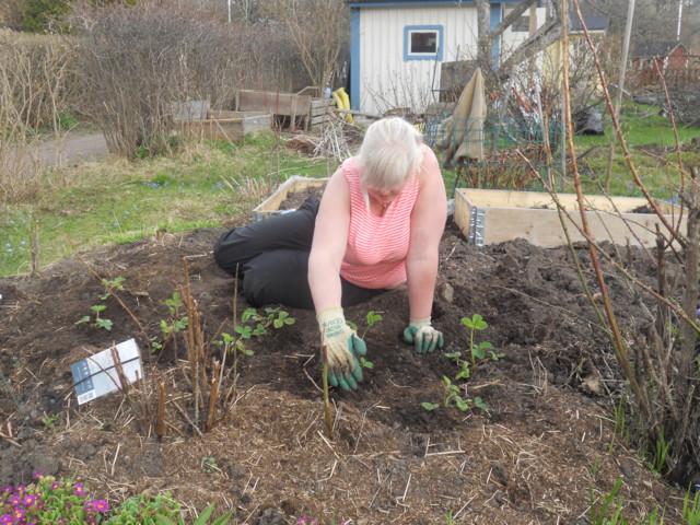 Anne istuttaa mansikoita.JPG