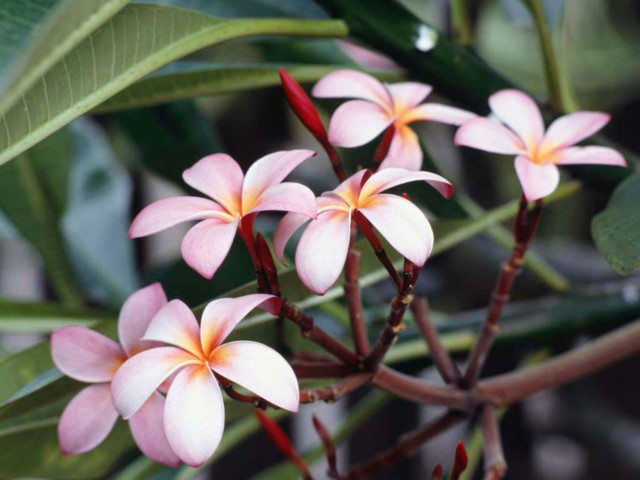 Frangipani%20Flowers-normal.jpg