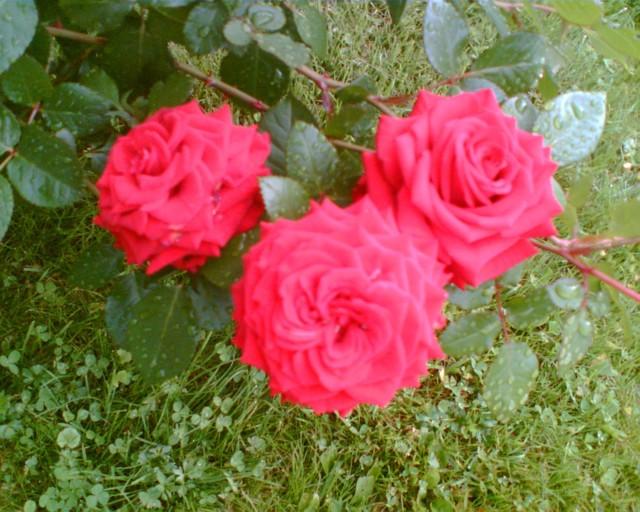 Ruusut%20l%C3%A4helt%C3%A4-normal.jpg