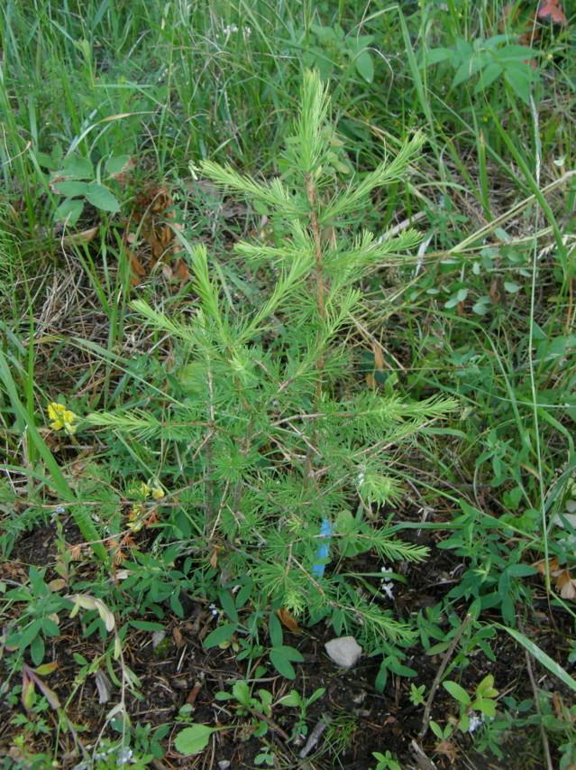 juniperus%20communis%201-normal.jpg