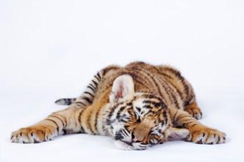 sleeping-tiger-normal.jpg