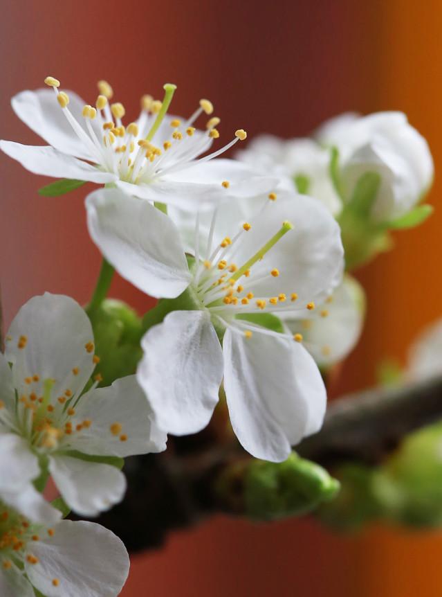 Kirsikan%20kukkia%20maljakossa%20024-nor