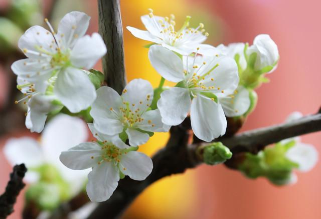 Kirsikan%20kukkia%20maljakossa%20026-nor