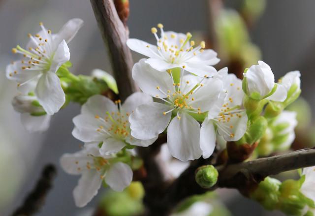 Kirsikan%20kukkia%20maljakossa%20033-nor