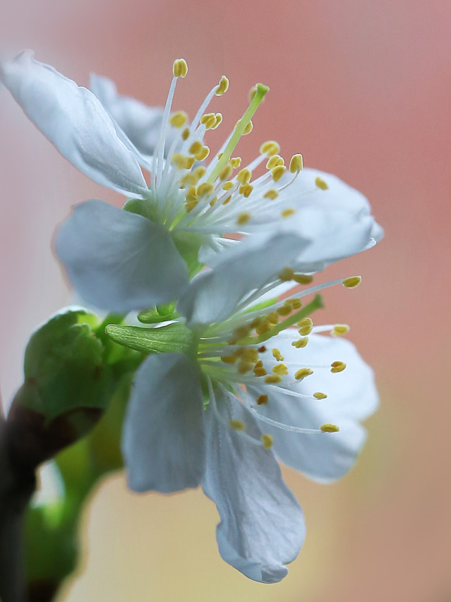 Kirsikan%20kukkia%20maljakossa%20039-nor