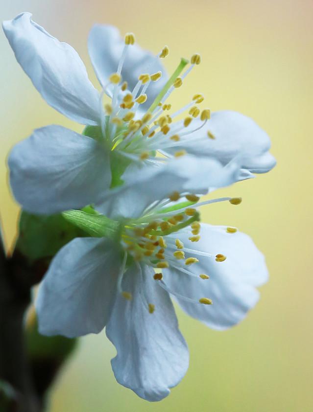 Kirsikan%20kukkia%20maljakossa%20048-nor