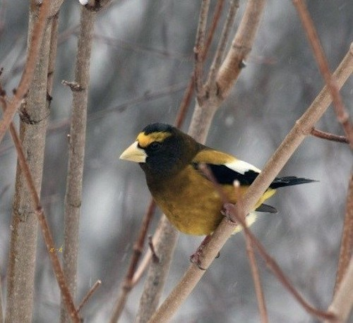 Evening-Grosbeak%20-normal.jpg