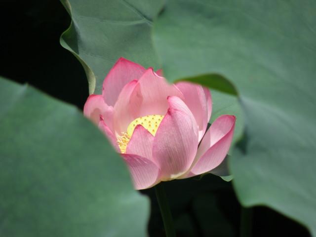 lotus-normal.jpg