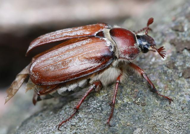 Kastanjaturilas on lehtisarvinen kovakuoriainen  LUONTOA JA PUUTARHAA HANKON