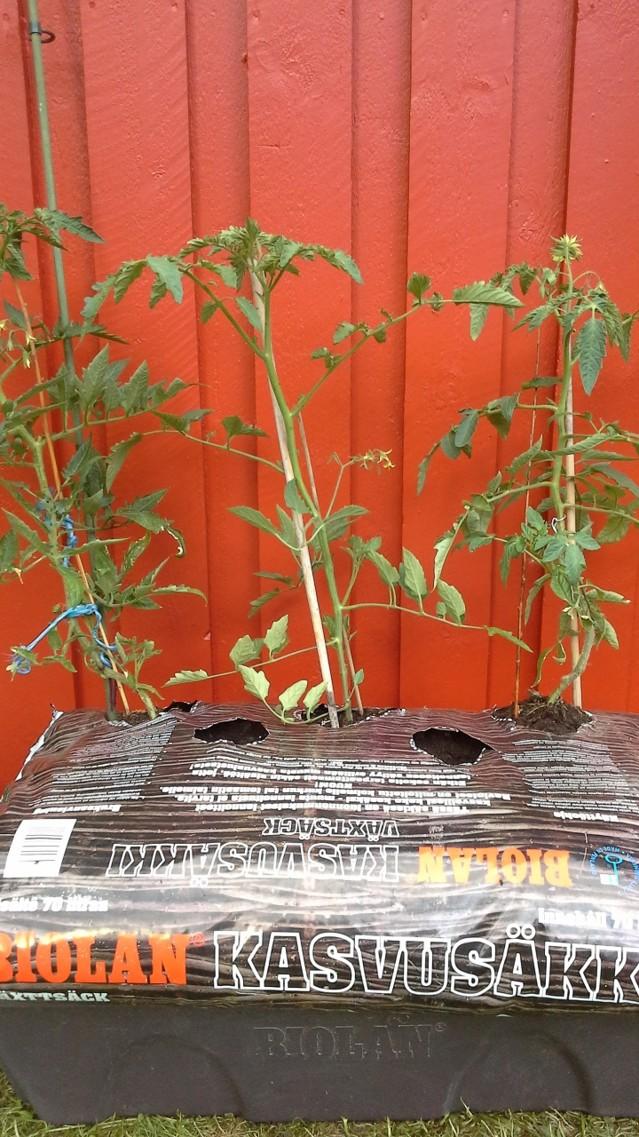 tomaatit-normal.jpg