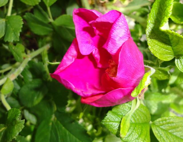 ruusu-normal.jpg