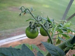 tomaatti-normal.jpg