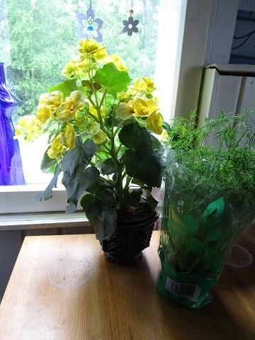 begonia-normal.jpg