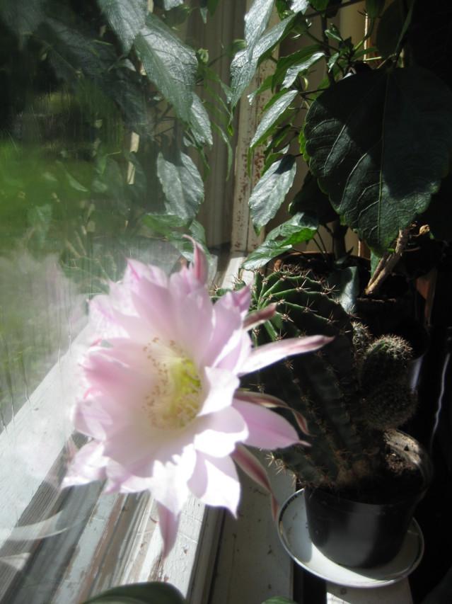 Kaktuksen kukka 016.JPG
