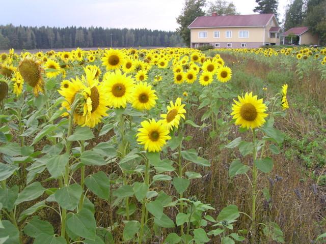 Auringonkukkapelto%2012.09%20%282%29-nor