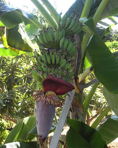 banaaninkukka-normal.jpg