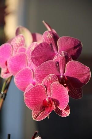 orkidea4.jpg