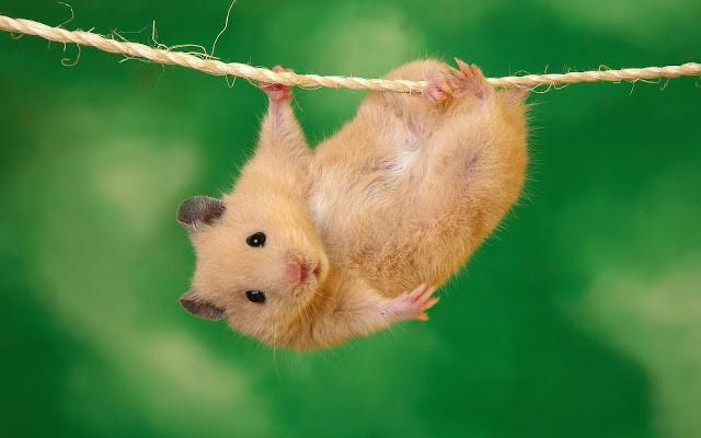 hamsteri.jpg