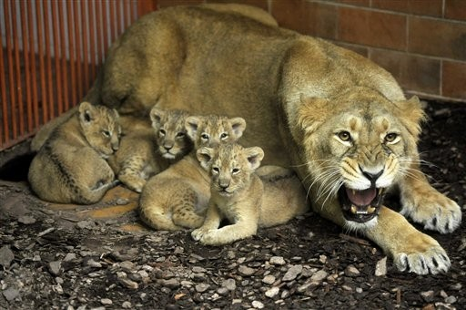 Hungary_Lion_Cubs__CMG_support_10.jpg