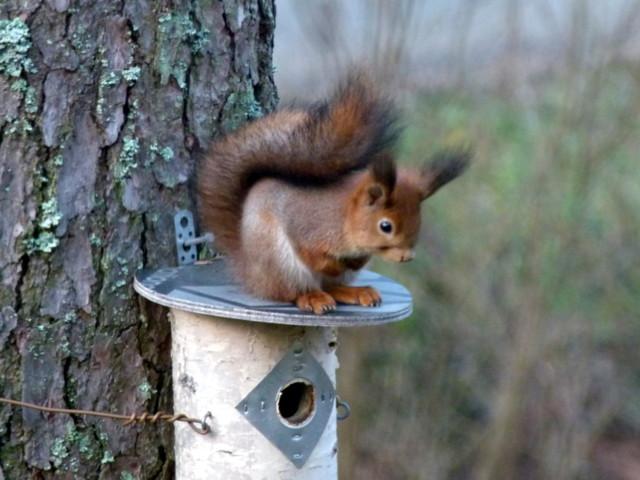 Orava%20palelee.jpg