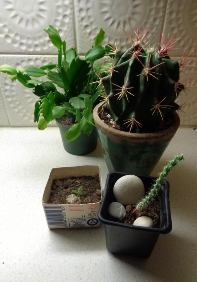 kaktuksia%20003.jpg