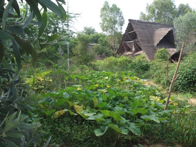 Timo Tropiikista: Lehmät ovat suloisia - niiden kakka haisee Intiassa