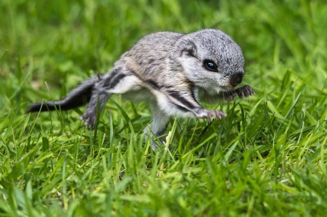 Liito-oravavauvaE.jpg