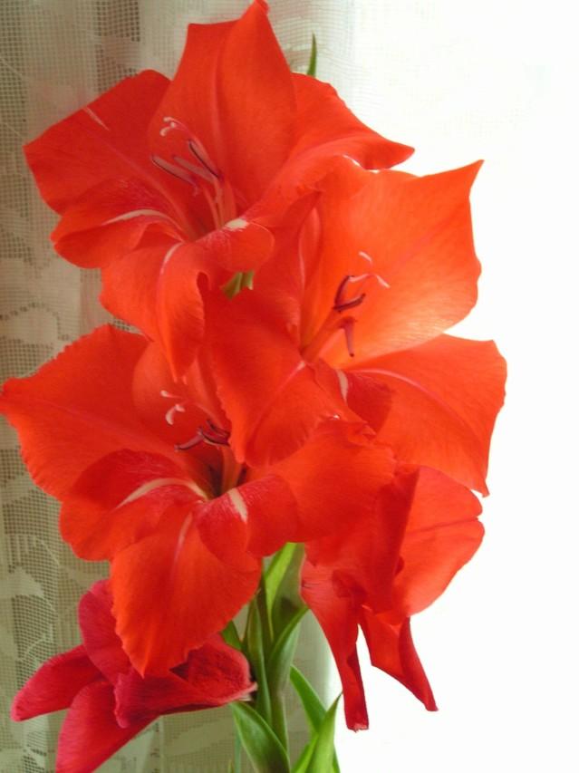 gladiolus.jpg?1434880513