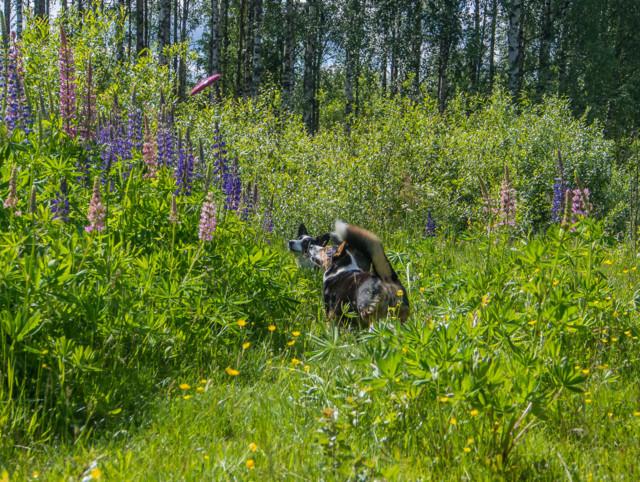 lupiinifrisbee-2.jpg