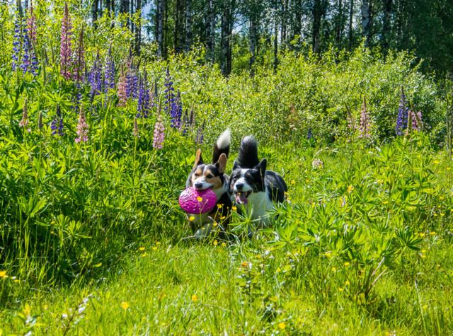 lupiinifrisbee-6.jpg