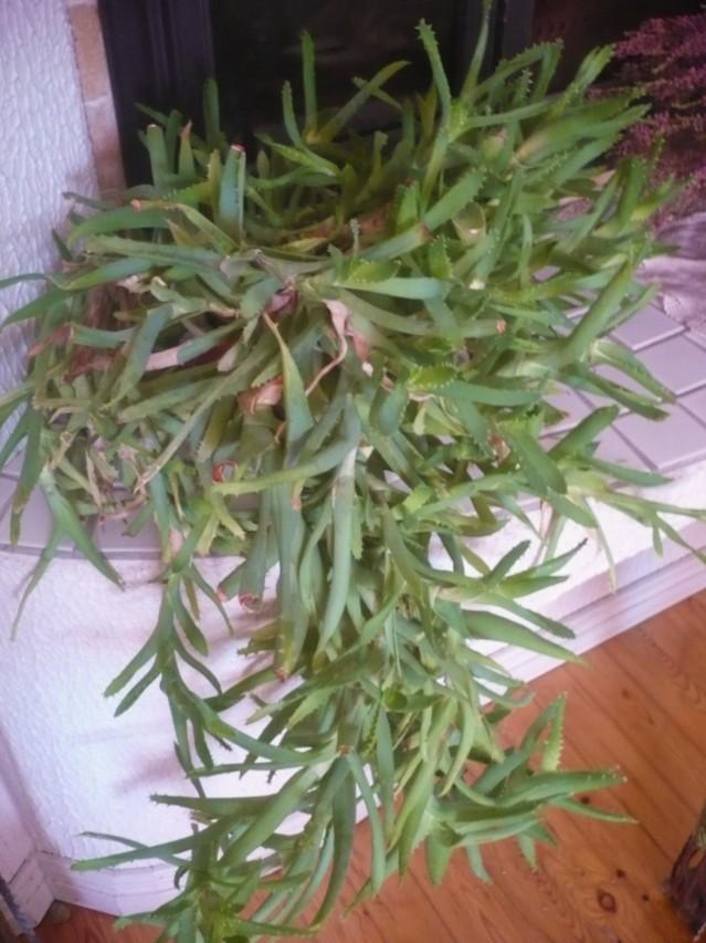Aloe%20Vera.jpg