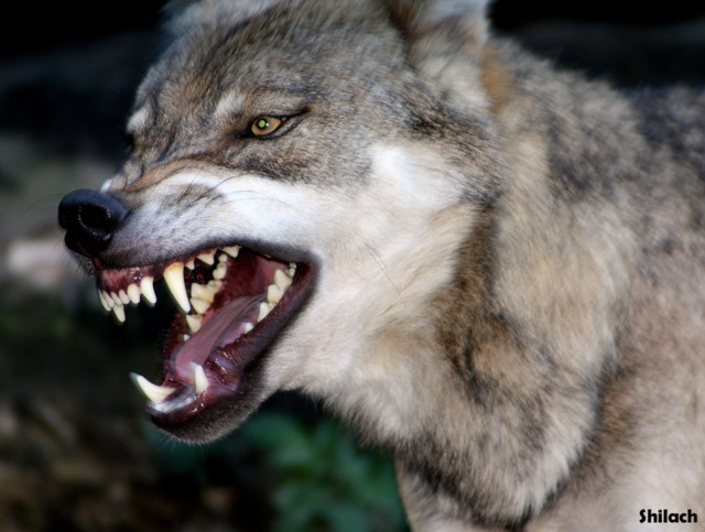 4324494-t40d63b_angry_wolf_153_by_snakeg