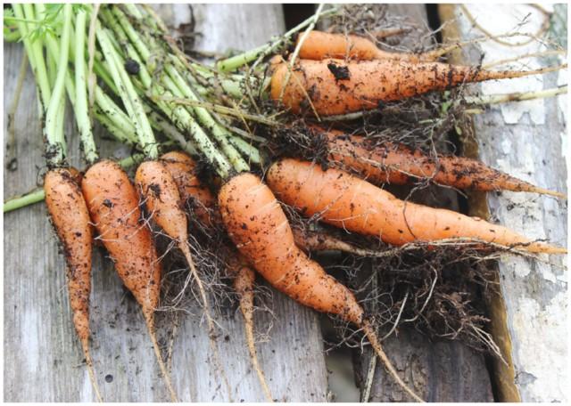 porkkana2.jpg